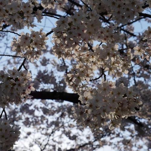 cerisier camille desprets.jpg