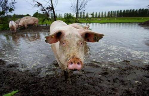 cochon. afp photo.robin utrecht.jpg